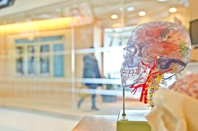Photo with blurred background and in the foreground a clear, plastic model of head that shows arteries and veins going up the neck.